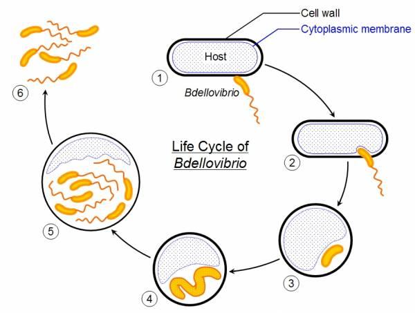Bdellovibrio_life_cycle