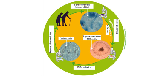 four aging cell