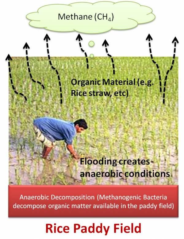 انتشار متان در زمین های برنج