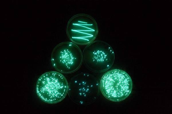 باکتری های تولید کننده نور